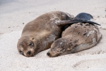 Komm Kuscheln - Galápagos-Seelöwen (Zalophus wollebaeki)