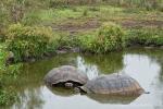 Galápagos-Riesenschildkröten nehmen ein Bad (Chelonoidis nigra)