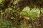 Die Bäume hängen voller Moose und Flechten