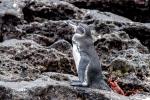 Ein Galapagos-Pinguin (Spheniscus mendiculus)übernimmt die Begrüßung der Neuankömmlinge