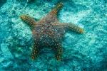 Panamaischer Noppen-Seestern (Pentaceraster cumingi)