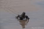 Meerechse (Amblyrhynchus cristatus) am Strand der Insel Isabela