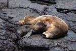 Auch hier gibt es ganz kleine Seelöwenbabys, die schmatzend gesäugt werden