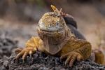Galapagos-Landleguan oder Drusenkopf (Conolophus)