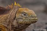 Kritischer Blick - Galapagos-Landleguan oder Drusenkopf (Conolophus)