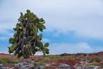 Einzige Vegetation auf der Insel Plaza Sur sind Kakteen und Sesuvien
