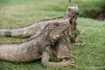 Im Park vor der Kathedrale leben grüne Leguane (Iguana iguana)