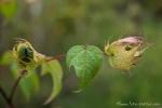 Frucht der Galapagos-Passionsblume (Passiflora foetida galapagensis)