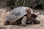 Galapagos-Schildkröte in der Charles Darwin Station