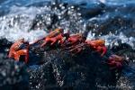 Rote Klippenkrabben (Grapsus grapsus)