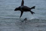 Seelöwen-Akrobatik