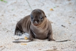 Einfach nur süß - Galápagos-Seelöwenbaby (Zalophus wollebaeki) mit Kuschelfaktor