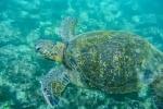 Suppenschildkröte (Chelonia mydas) auch Grüne Meeresschildkröte