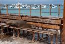 Seelöwen haben in San Cristobal überall die Nase vorn