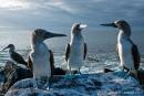 Angeregtes Gespräch zwischen Blaufußtölpeln (Sula nebouxii)