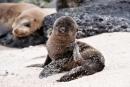 Galápagos-Seelöwenbaby (Zalophus wollebaeki)