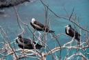 Sie verleihen diesem Felsen ihren Namen - Fregattvögel auf San Cristobal