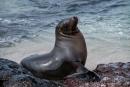 Genießer - Galápagos-Seelöwe (Zalophus wollebaeki)