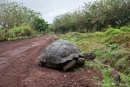 Seltene Begegnung mitten auf der Straße - eine Galápagos-Riesenschildkröte (Chelonoidis nigra) hat natürlich Vorfahrt