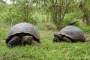 Galápagos-Riesenschildkröten(Chelonoidis nigra)