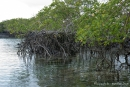 Die Mangroven stehen wie auf Stelzen im klaren Wasser