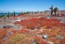Hübsch anzusehen - rot gefärbte Sesuvien