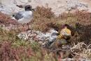 Gabelschwanzmöwe (Creagrus furcatus) und Landleguane leben auf der Insel Plaza Sur