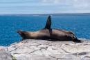 Seelöwe auf dem exponiertesten Platz der Insel Plaza Sur