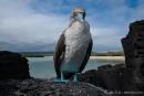 Neugieriger Blaufußtölpel (Sula nebouxii)