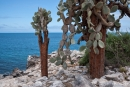 Auf der Insel Santa Fe werden die Opuntien besonders groß