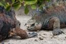 Zwei männliche Meerechsen kämpfen um ihr Revier