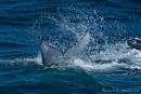 Fluke eines Buckelwals (Megaptera novaeangliae), Humpback Whale