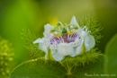 Galapagos-Passionsblume (Passiflora foetida galapagensis)