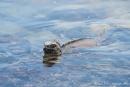 Meerechsen (Amblyrhynchus cristatus) sind hervorragende Schwimmer