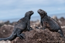 Meerechsen (Amblyrhynchus cristatus) auf der Insel San Cristobal