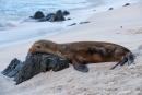 Galápagos-Seelöwe (Zalophus wollebaeki)