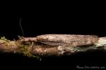 Schlammfliege (Corydalinae), Dobsonfly