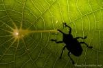 Rüsselkäfer (Curculionidae), True Weevil