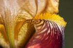 Schwertlilien (Iris germanica)