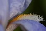 Schwertlilien (Iris pallida)