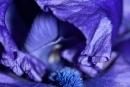 Schwertlilien (Iris)