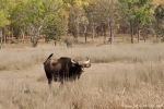 Gaur - Indischer Bison (Bos gaurus)