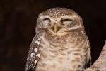 Brahma-Kauz (Athene brama), Spotted owlet