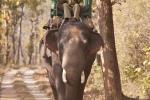 Elefant für die Tiger-Show