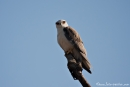 Gleitaar (Elanus caeruleus), Black-winged kite