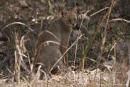 Rohrkatze (Felis chaus), jungle cat