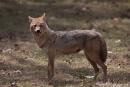 Goldschakal (Canis aureus), Jackal