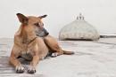 Tempelhund