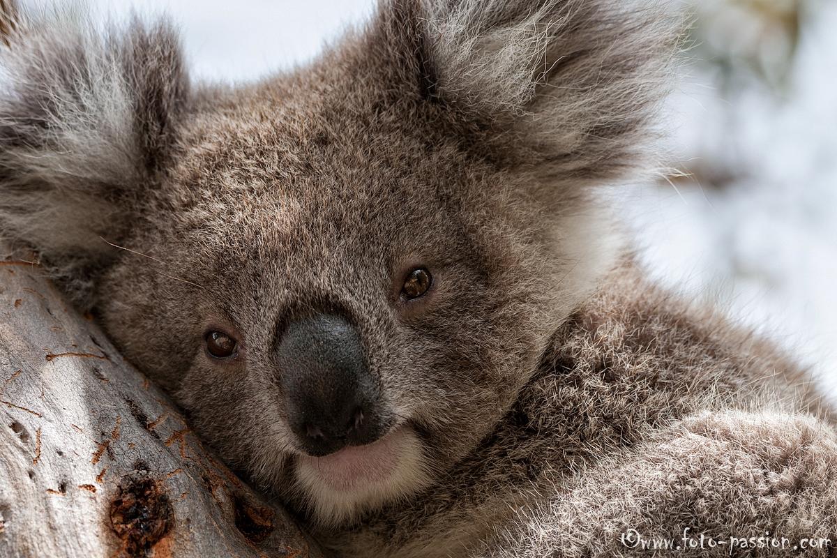 junger koala phascolarctos cinereus