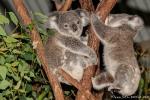 Zwei junge Koalas (Phascolarctos cinereus) - Billabong & Koala Wildlife Park